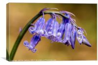 Bluebell Flowers Close Up in a woodland, Canvas Print