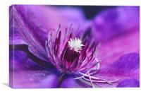 Purple and magenta , Canvas Print