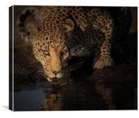 Leopard Botswana , Canvas Print