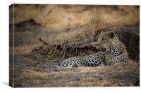Male leopard Chobe Botswana , Canvas Print