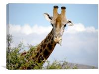 Giraffe in South Africa , Canvas Print