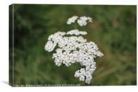 White Summer Blossom, Canvas Print