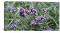 Lavender Stalks, Canvas Print