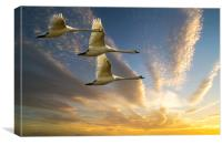 Swans in Evening Flight, Canvas Print