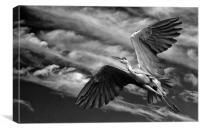 Grey Heron in Flight, Canvas Print