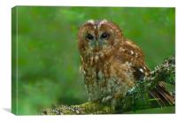 Tawny Owl, Canvas Print