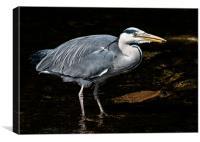 Grey Heron Feeding, Canvas Print