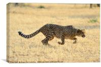 Cheetah springs into action, Canvas Print