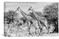 Giraffes browsing acacia trees mono, Canvas Print
