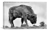 Lone European bison, Canvas Print