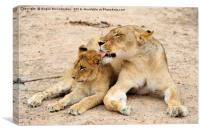Lioness grooming cub, Canvas Print