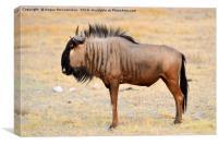 Solitary wildebeest, Canvas Print