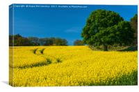 Rapeseed field Perthshire, Canvas Print