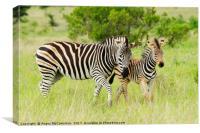 Female zebra with foal, Canvas Print