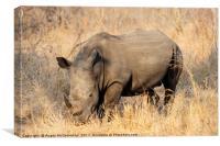 White rhino grazing, Canvas Print