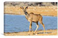 Young male kudu at the waterhole, Canvas Print