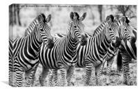 Zebra line up (mono), Canvas Print
