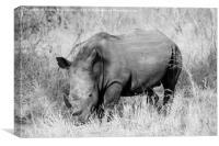 White rhino grazing (mono), Canvas Print