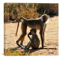 Baboon with young, Taita Hills Game Reserve, Kenya, Canvas Print
