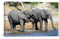 Elephants drinking on bank of Chobe River Botswana, Canvas Print