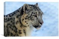 Snow leopard portrait, Canvas Print
