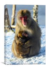 Japanese macaque (snow monkey) with young, Canvas Print