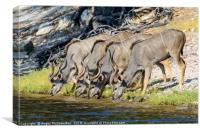 Kudus drinking on bank of Chobe River, Botswana, Canvas Print