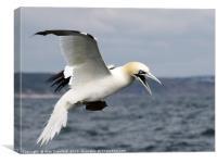 Gannet in Flight, Canvas Print
