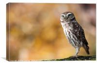 Little Owl, Canvas Print