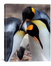 King Penguins, Falkland Islands, Canvas Print