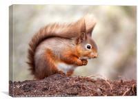 Red Squirrel (Sciurus vulgaris), England, Canvas Print