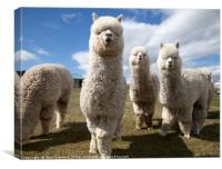 Group of Alpacas, Canvas Print