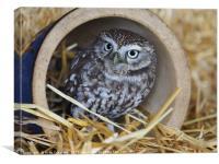 Little Owl                                        , Canvas Print