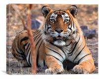 Tiger, Tiger, Canvas Print