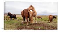 Icelandic Horses, Canvas Print