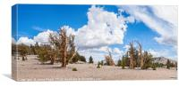 Dramatic view of the Ancient Bristlecone Pine Fore, Canvas Print