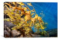 Leafy Sea Dragon, Phycodurus eques., Canvas Print