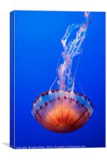 Large jellyfish, Atlantic Sea Nettle