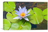 Single Purple water lily in pond., Canvas Print