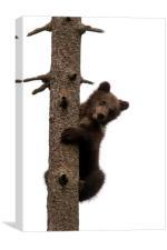 Brown Bear Cub in Tree, Canvas Print