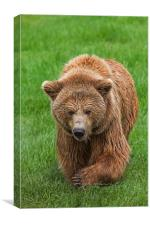 Brown Bear in Meadow, Canvas Print