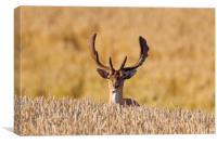 Fallow deer in Wheat Field, Canvas Print