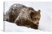 Brown Bear Cub in Winter, Canvas Print