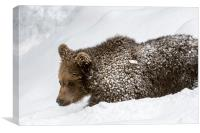Brown Bear Cub in the Snow, Canvas Print