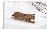 Young Lynx Hunting in the Snow in Winter, Canvas Print