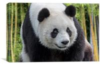 Giant Panda Bear, Canvas Print