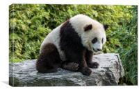 Giant Panda Bear Cub, Canvas Print