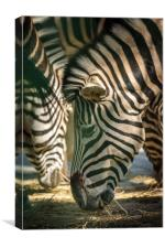 Zebra herd eating, Canvas Print