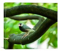Java sparrow on a branch, Canvas Print