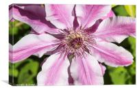 Clematis Nelly Moser flower, Canvas Print
